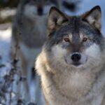 Wolf Fox